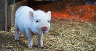 养猪第一股死亡之谜